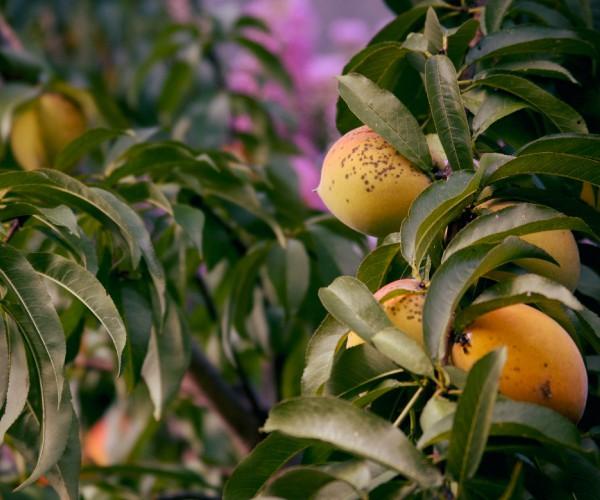 Case Study: Fruit Trees